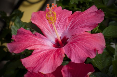 hawaiian_hibiscus_by_05rex-d4ma3m7